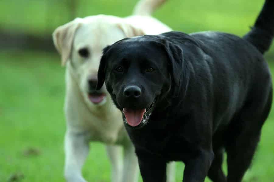 Labrador-Retrievers