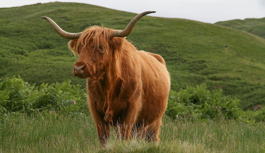 highland cow in Hart, South East