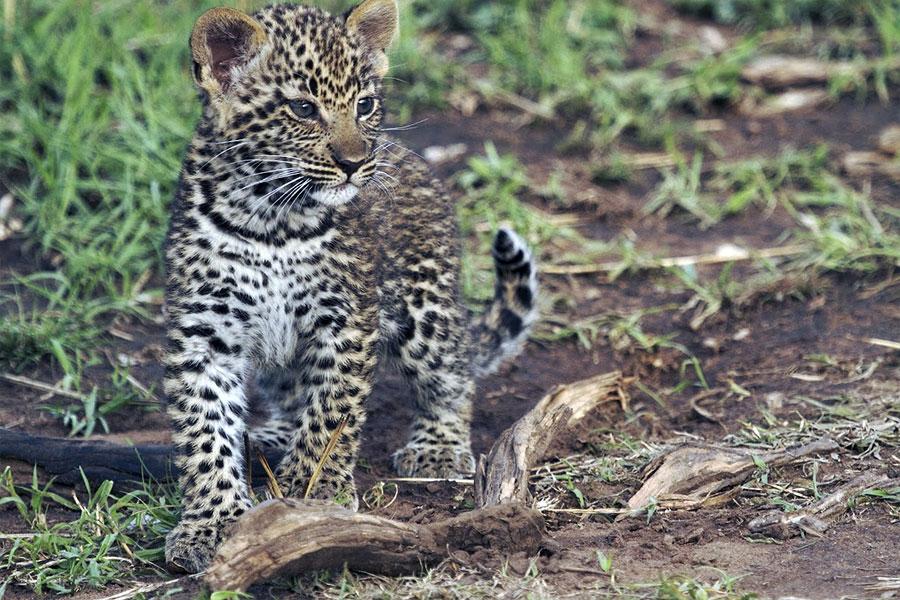babay Leopard kenya