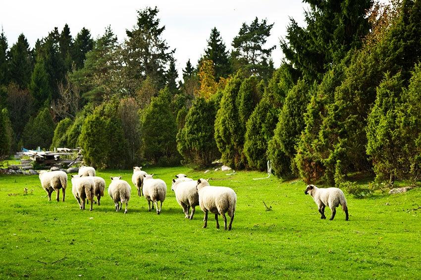 sheeps-Estonia