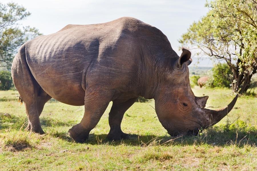 Rhino, Savannah, Africa