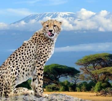 African Cheetah Kilimanjaro National Park
