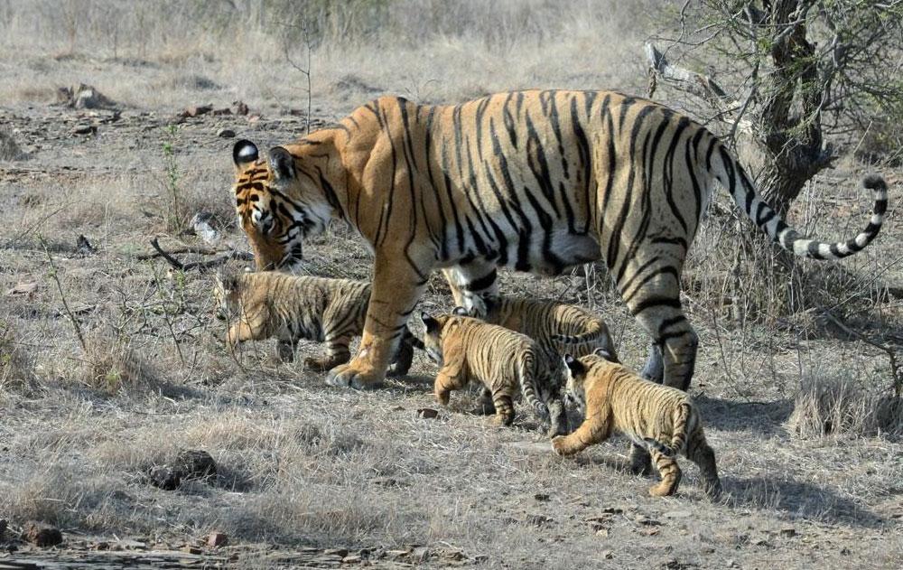 Ranthambore National Park, India